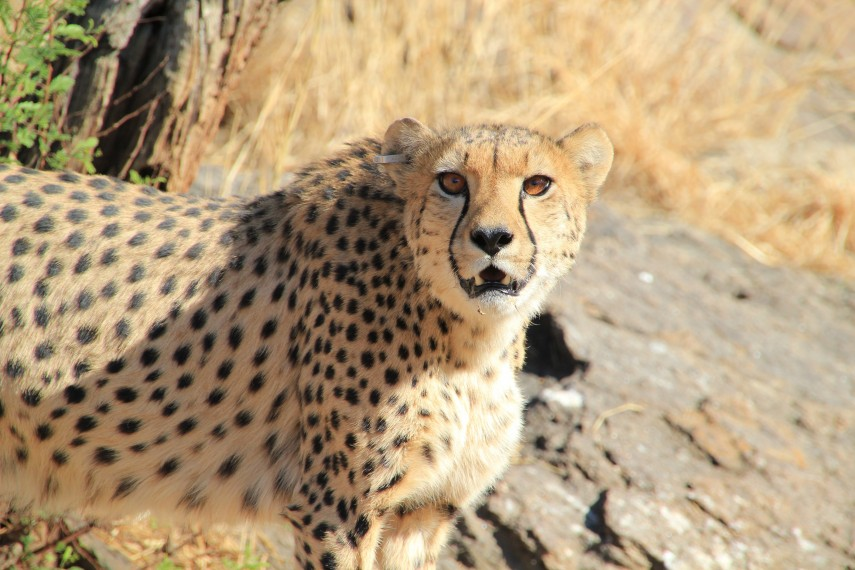 /db_data/movies/africansafari/scen/l/AS3D_AS_Cheetah_3_300.jpg