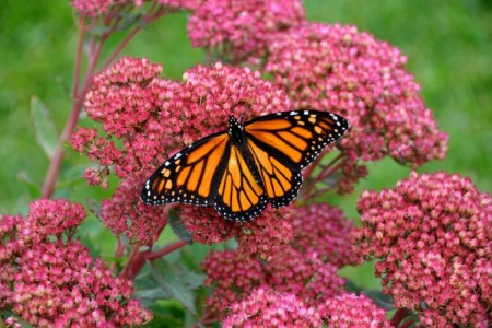 Still - Monarch on flower - FOB - SK Films.jpg