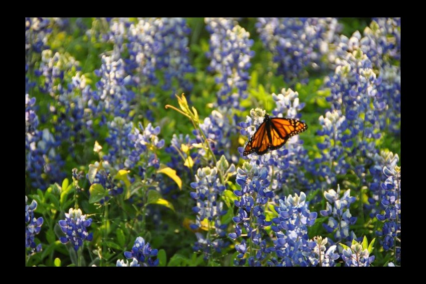 /db_data/movies/flightofthebutterflies/scen/l/Still - Monarch on milkweed - FOB - SK Films.jpg